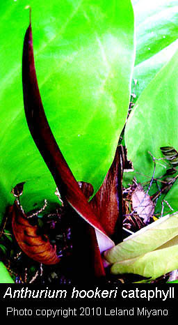 Anthurium hookeri cataphyll photo copyright Leland Miyano