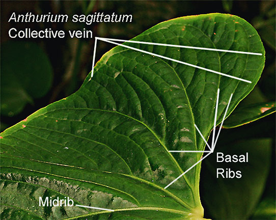Anthurium sagittatum, vein structure including collective vein, Photo Copyright 2009, Steve Lucas, www.ExoticRainforest.com