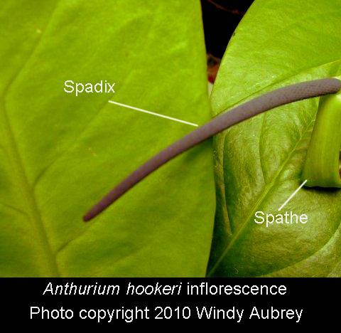 Anthuriumhookeri inflorescence, spathe and spadix, Photo Copyright 2010 Windy Aubrey