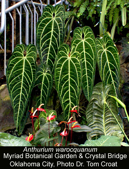 Anthurium warocqueanum, Myriad Center Botanical Garden, Oklahoma City, OK, Photo Dr. Tom Croat