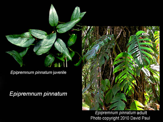 Epipremnum pinnatum ontogeny, Photo Copyright Steve Lucas and David Paul, www.ExoticRainforest.com