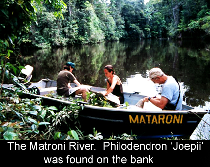 Matroni River where Philodendron 'joepii' was found.