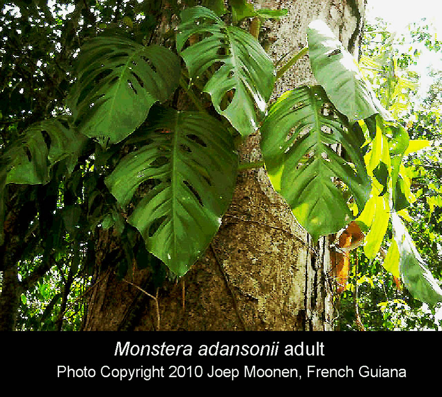 Monstera adansonii, Photo Copyright 2010 Joep Moonen, French Guiana