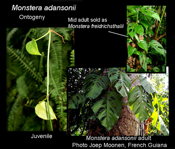 Monstera adansoni ontogeny, Photos copyright Steve Lucas and Joep Moonen, www.ExoticRainforest.com