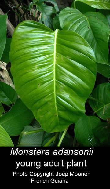 Monstera adansonii young adult, Photo Copyright Joep Moone, French Guiana