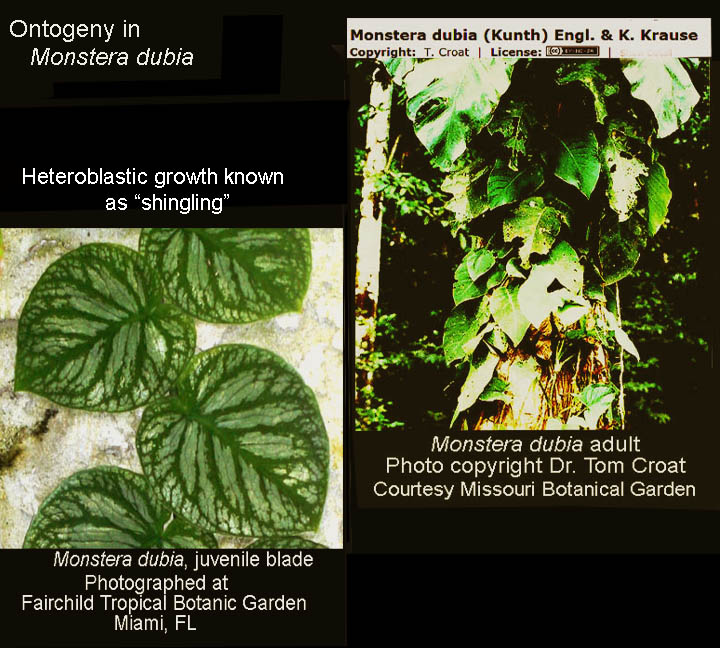 Monstera dubia, ontogeny and heteroblastic growth known as shingling, Photos Copyright Steve Lucas and Dr. Tom Croat, www.ExoticRainforest.com