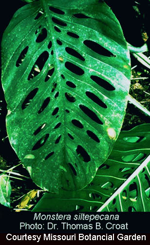 Monstera siltepecana, Photo Dr. Thomas B. Croat, courtesy Missouri Botanical Garden