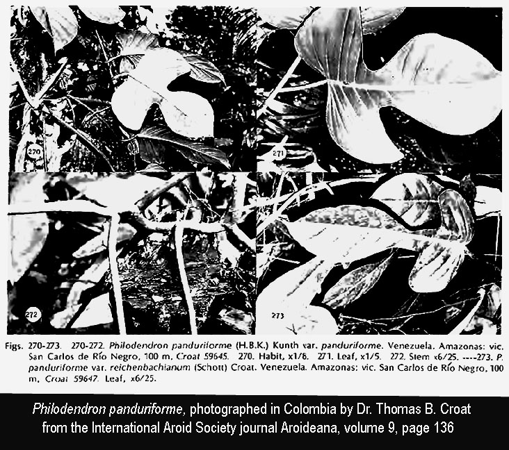 Philodendron panduriforme, Photographs copyright Dr. Thoams B. Croat, aroid botanist, the Missouri Botanical Garden, from the International Aroid Society Journal Aroideana, volume 9