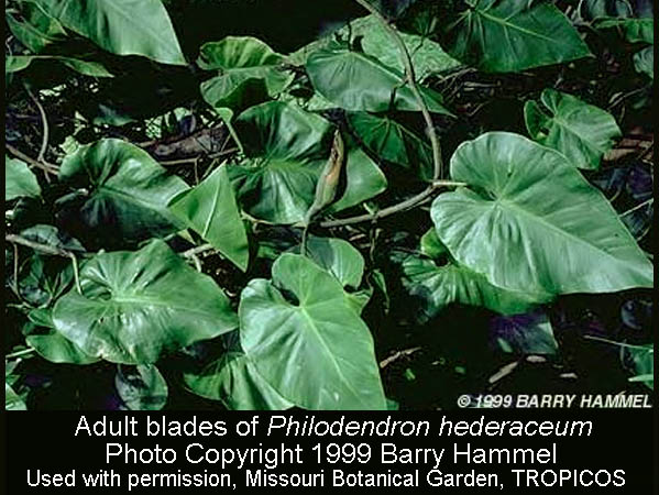 Philodendron hederaceum adult leaf, Photo Copyright 1999 Barry Hammel, Courtesy TROPICOS