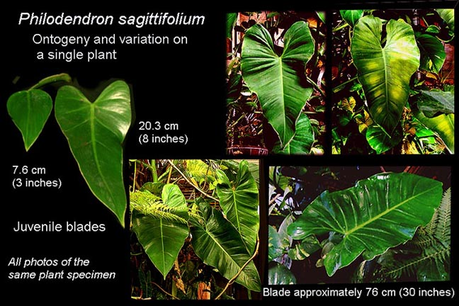 Philodendron sagittifolium ontogeny and variation, Photos Copyright Steve Lucas, www.ExoticRainforest.com