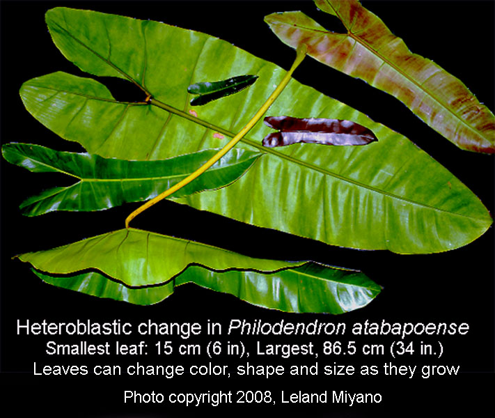 Philodendron atabapoense heteroblastic development, Photo Copyright 2008 Leland Miyano