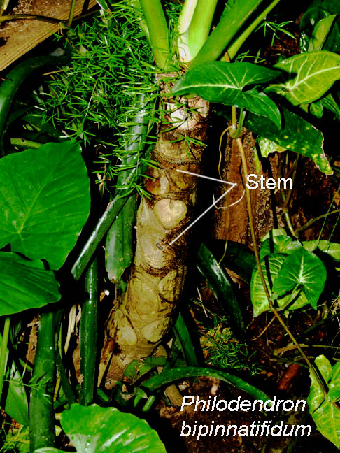 Philodendron bipinnatifidum stem, Photo Copyright 2008, Steve Lucas, www.ExoticRainfoerst.com