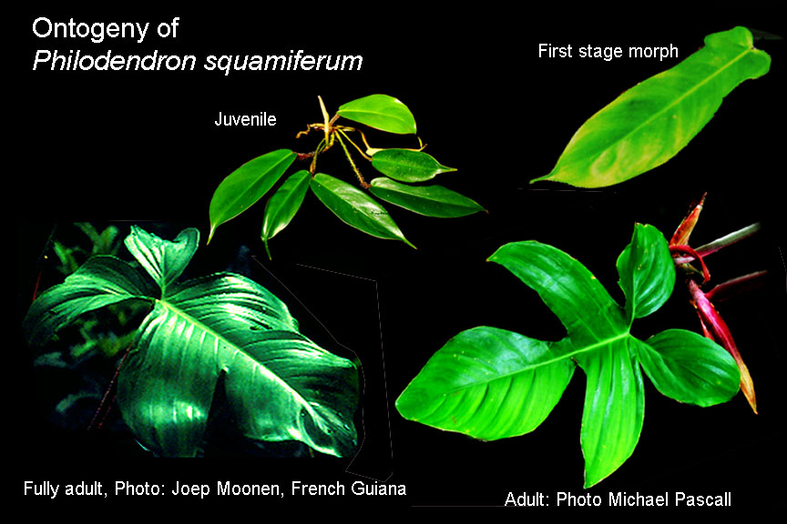 Philodendron squamiferum natural ontogeny, Photos Steve Lucas, Joep Moonen, Michael Pascall, www.ExoticRainforest.com