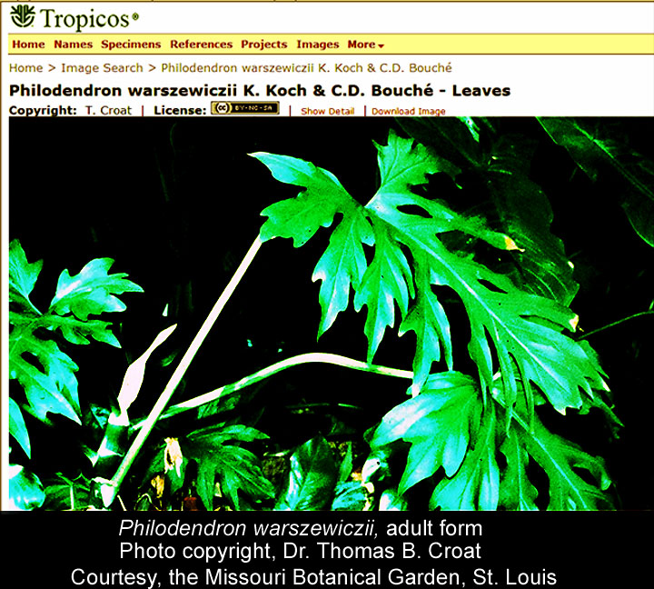 Philodendron warszewiczii, Photo Copyright Dr. Thomas B Croat, Courtesy the Missouri Botanial Garden, St. Louis