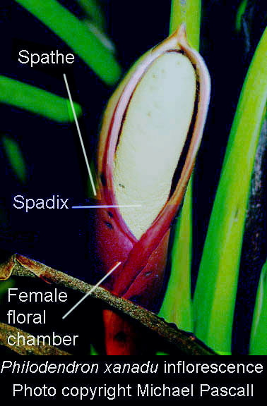Philodendron xanadu inflorescence, Photo Copyright Michael Pascall