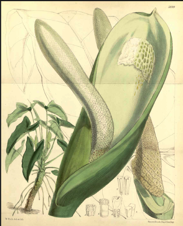 Philodendron williamsii is from Volume 28 of Curtis's Botanical Magazine, Royal Botanic Garden Kew