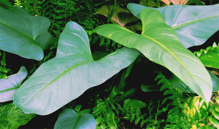 Philodendron hastatum K. Koch & Sellow ,od adult leaf blades, Photo Copyright 2007, Steve Lucas, www.ExoticRainforest.com