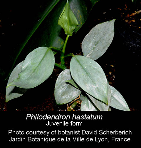 Philodendron hastatum juvenile form Photo Copyright David Scherberich, (NOT Philodendron domesticum)
