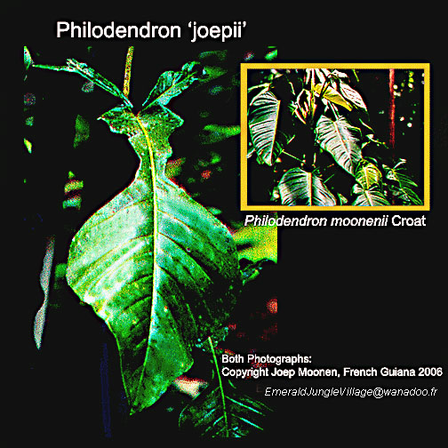 Philodendron 'joepii' and Philodendron moonenii, Photos Copyright Joep Moonen, www.ExoticRainforest.com