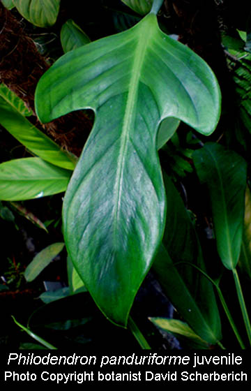 Philodendron panduriforme, Photo Copyright botanist David Scherberich