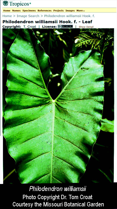 Philodendron williamsii, Photo Copyright Dr. Thomas B Croat, Courtesty of the Missouri Botanical Garden, St. Louis