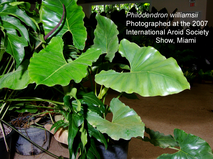 Philodendron williamsii photographed at the 2007 International Aroid Society Show, Miami, Photo Copyright Steve Lucas, www.ExoticRainforest.com