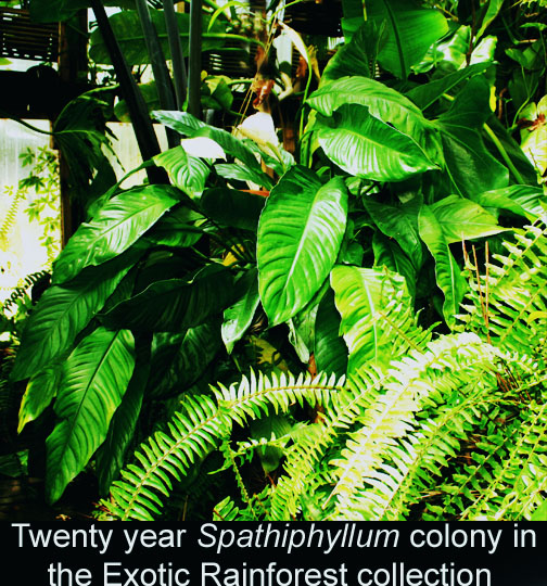 Spathiphyllum colony in the ExoticRainforest collection, Photo copyright 2010 Steve Lucas, www.ExoticRainforest.com