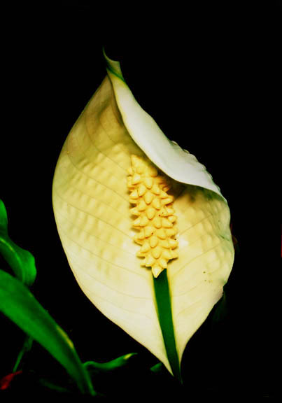 "Spathiphyllum inflorescence, Peace Lily ""Flower"", Photo Copyright 2010 Steve Lucas, www.ExoticRainforest.com"
