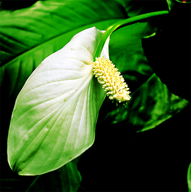 Spathiphyllum inflorescence, species unknown, Photo Copyright 2010 Steve Lucas, www.ExoticRainforest.com