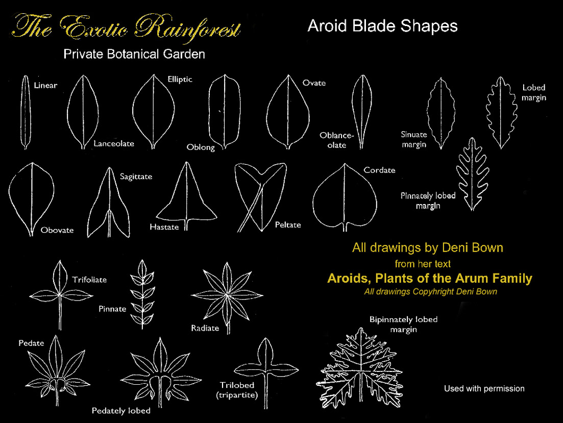 Aroid leaf blade shapes, drawings copyright Deni Bown